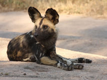 Wild dogs in Soouth Africa. Wid dogs (painted) in Sabi Sand, South Africa Royalty Free Stock Photos