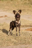 Wild dogs in Soouth Africa. Wild dogs (painted) in Sabi Sand, South Africa Stock Image
