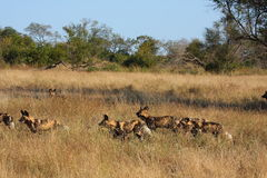 Wild dogs in Soouth Africa. Wild dogs (painted) in Sabi Sand, South Africa Stock Photos