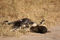 Wild dogs in Soouth Africa Stock Photo