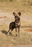 Wild dogs in Soouth Africa. Wid dogs (painted) in Sabi Sand, South Africa Stock Image
