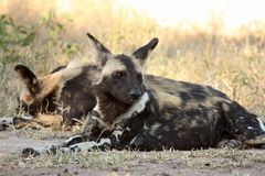 Wild dogs in Soouth Africa Royalty Free Stock Photography