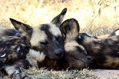 Wild dogs in Soouth Africa Royalty Free Stock Photo