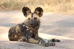 Wild dogs in South Africa. Wild dogs (painted) in Sabi Sand, South Africa Stock Image