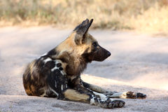 Wild dogs in South Africa. Wild dogs (painted) in Sabi Sand, South Africa Royalty Free Stock Photo