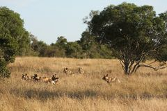 Wild dogs in South Africa Stock Image