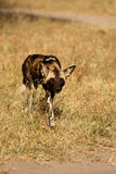 Wild dogs in South Africa. Wild dogs (painted) in Sabi Sand, South Africa Stock Photos