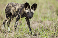 Wild Dogs South Africa Stock Image