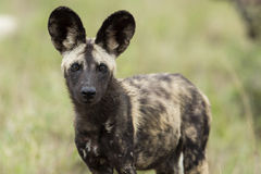 Wild Dogs South Africa Stock Photography