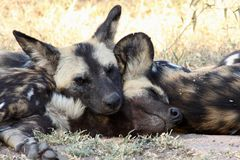Wild dogs in South Africa Royalty Free Stock Images