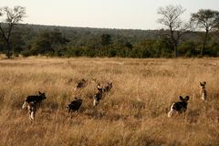 Wild dogs in South Africa Royalty Free Stock Photo