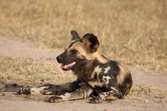 Wild dogs in South Africa Stock Images