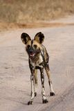 Wild dogs in South Africa Stock Photo