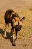 Wild dogs in South Africa Royalty Free Stock Photos
