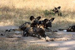 Wild dogs in South Africa. Wid dogs (painted) in Sabi Sand, South Africa Royalty Free Stock Images