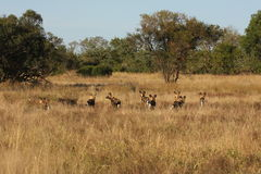 Wild dogs in South Africa. Wild dogs (painted) in Sabi Sand, South Africa Royalty Free Stock Photos