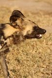 Wild dogs in South Africa. Wild dogs (painted) in Sabi Sand, South Africa Royalty Free Stock Image