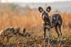 Wild dogs in South Africa. African wild dogs on the savanna in South Africa royalty free stock photography