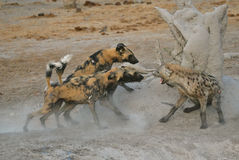 Wild Dogs and Spotted Hyaena fighting Stock Photography