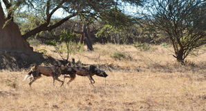 Wild dogs stalking prey Royalty Free Stock Images