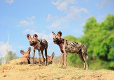 Wild dogs standing with a natural blue cloudy sky and bush in south Luangwa National Park. Wild Dogs - Lycaon Pictus - watching and looking alert while standing Stock Image