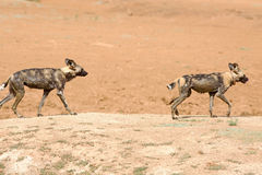 2 Wild dogs walking on a dusty mound in Namibia Stock Photo