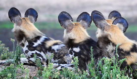 Wild Dogs on Watch Royalty Free Stock Image
