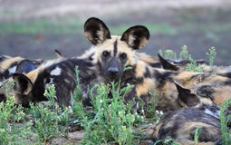 Wild Dogs Watches Stock Photos