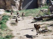 Wild Dogs. At Denver Zoo stock photos