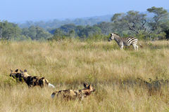 Wild Dogs and Zebra. Wild Dogs in the early morning Light starting a hunt Stock Photos