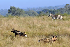 Wild Dogs and Zebra. Wild Dogs in the early morning Light starting a hunt Stock Photo