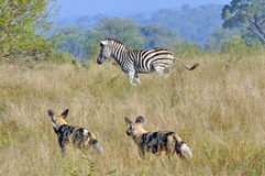 Wild Dogs and Zebra. Wild Dogs in the early morning Light starting a hunt Royalty Free Stock Image