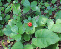 Wild dogwood berries  Stock Photo