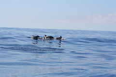 Wild dolphin. Swiming in the ocean Stock Photos