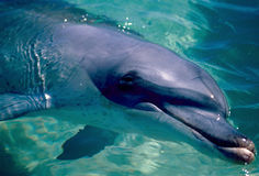 Wild dolphin close-up Stock Photos