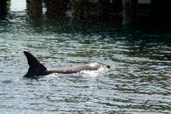 Wild Dolphin royalty free stock photos