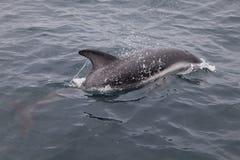 Wild dolphin near peninsula valdes. Wild dolphin at the atlantic sea near peninsula valdes, Argentina Stock Images