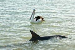 Wild Dolphin & Pelican stock photography