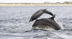Jumping breaching Wild bottlenose dolphin tursiops truncatus. royalty free stock photos