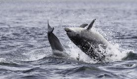 Jumping breaching Wild bottlenose dolphin tursiops truncatus. Wild dolphin in playful mood while hunting for migrating Atlantic Scottish salmon in the Moray stock image