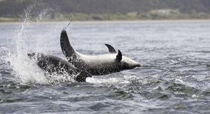 Jumping breaching Wild bottlenose dolphin tursiops truncatus. stock image