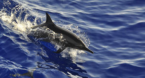 Wild dolphin. In red sea swimming fast on surface Royalty Free Stock Photo