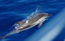 A wild dolphin. Royalty Free Stock Photo