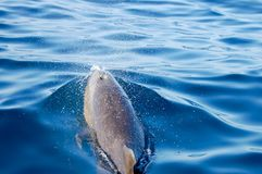 Wild Dolphin royalty free stock images