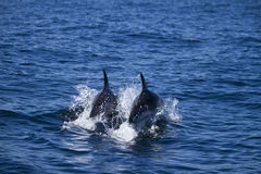 Wild dolphins Stock Image