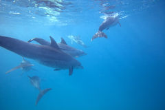 Wild Dolphins. Swimming in blue ocean in Zanzibar Royalty Free Stock Photos