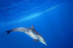 Wild Dolphins. Swimming in blue ocean in Zanzibar Royalty Free Stock Photography