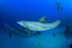 Wild Dolphins Royalty Free Stock Photos