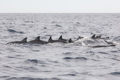 Wild dolphins indonesia Stock Images