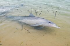 Wild dolphins at monkey mia west coast australia.  stock images